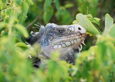 iguane-petite-terre.jpg-38
