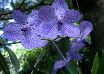 Orchidé bleue